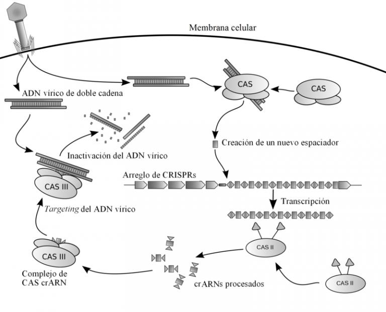 Posible mecanismo de los CRISPR. /Wikimedia Commons